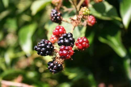 foraging berries